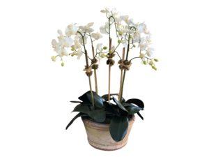 Diane James Grandeur Orchid